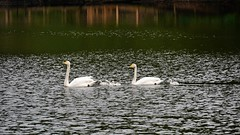 Whooper swan family... (vanstaffs) Tags: birds chicks whooper sångsvan