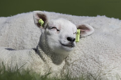 Lammetje (judithvanagthoven) Tags: terschelling canon april dieren lam schapen schaap lammetje zoogdieren sigma150500mm 7dmarkii