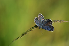 D71_6856A (vkalivoda) Tags: blue macro butterfly insect bokeh depthoffield serene makro schmetterling motl chequeredblue scolitantidesorion modrsek velatice fetthennenbluling modrsekrozchodnkov modrikrozchodnkov