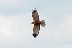 Marsh Harrier male, RPSB Blacktoft Sands (JR Studio) Tags: bird river circus yorkshire trent raptor western marsh prey ouse humber wetland harrier reedbed ynu eastyorkshire blacktoftsands aeruginosus rpsb