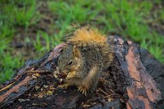Squirrel - The Gardens at Lake Merritt - Oakland - California - 09 April 2016 (goatlockerguns) Tags: sanfrancisco california park city trees urban usa lake west nature oakland coast squirrel natural unitedstatesofamerica coastal bayarea eastbay merritt thegardens