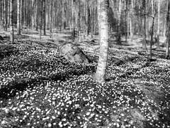 Lilla Djurgrden, May 7, 2015 (Ulf Bodin) Tags: blackandwhite tree monochrome forest landscape se spring sweden outdoor skog uppsala birch bjrk sverige trd vr f12 anemonenemorosa vitsippa woodanemone canonef50mmf12lusm uppsalaln svja canoneos5dmarkiii lilladjurgrden