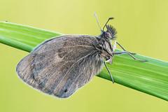 Coenonympha pamphilus (Prajzner) Tags: morning macro sigma naturallight manfrotto sigma105mmmacro coenonymphapamphilus smallheath sigma105macro subcarpathia nikond7100 prajzner manfrottomt190xpro3