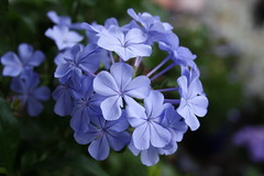 Immagine 245 Plumbago in fiore (spartano2010 - the start of the summer will be lik) Tags: verde foglie torino estate piemonte giugno azzurro plumbago sabato