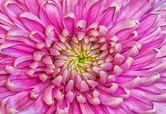 chrysanthemum Macro (robinta) Tags: plant flower colour macro texture pattern pentax vibrant pastel petal telephoto ks1 sigma70300mmapo