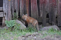 Young Fox at the Red Barn (Plummerhill) Tags: barn indiana fox deterioration johnsoncounty