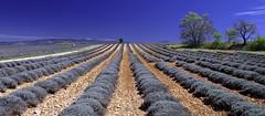 En attendant la floraison............. (Malain17) Tags: sky france nature colors clouds landscape photography europa shot pentax perspective photographers arbres terre provence capture paysage lavandes sillons