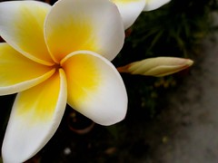 Nature's palette. (claudiamontano) Tags: white flower colour beach floral yellow thailand samsung bud traveling st700