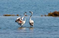 Angry Flamingo (Daniel Jesus Navas Montero) Tags: nikon flamingo cadiz flamenco parquenatural bahiadecadiz d7000 danjes danieljesusnavas danieljnavas