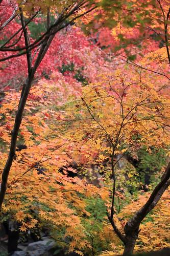 全山紅葉 / Colored leaves
