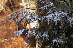 Harbinger of December:  November Light #11 (Fiddling Bob) Tags: snowy hemlock snowybranches tamron28200lens snowandsunshine