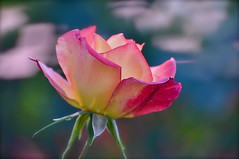 A Rose of Many Colors [Explored] (The Spirit of the World) Tags: california park flower nature rose garden flora sandiego blossom ngc bloom rosegarden balboapark wow1 roseblossom awesomeblossoms