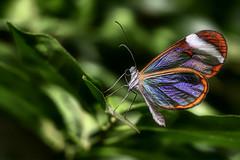 Mr. B. in glory (Witoldhippie) Tags: macro butterflies photosandcalendar natureselegantshots panoramafotogrfico theoriginalgoldseal mygearandmebronze mygearandmesilver flickrsportal witoldhippie