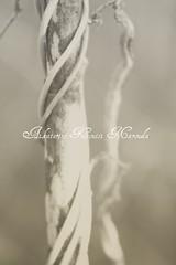 Twisted truth (Aikaterini Koutsi Marouda aka kotsifi) Tags: stilllife abstract macro tree nature vertical sepia grey blackwhite branch glow bokeh vine wrap 100mm minimal simple twisted diffuse canoneos40d kotsifi aikaterinikoutsimarouda