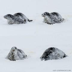 Restless (josefrancisco.salgado) Tags: snow ice fauna nikon nieve antarctica seal nikkor peninsula hielo foca pennsula antrtida rossisland iceshelf mcmurdostation antrtica weddellseal rossiceshelf mcmurdosound hutpoint d3s 70200mmf28gvrii teleconvertertc14e hutpointpeninsula