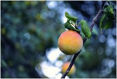 (Luciana Semowoniuk) Tags: green nature arbol ciruela enfoque selectivo