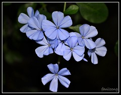 blue (faNiLooNg) Tags: flower amateur loong fani tausug
