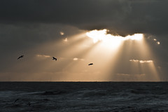 Gevangen in het licht (jan-willem wolf) Tags: storm holland seagull gull noordzee northsea sunbeams noordholland zijpe petten zeemeeuw zonneharp janwillemwolf