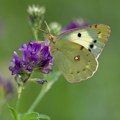 Colias on Alfafa (Sinkha63) Tags: france macro nature animal butterfly wildlife lepidoptera papillon getty insecte gettyimages corrze limousin luzerne alfalfa colias faune pieridae coliadinae puydarnac doubleniceshot mygearandme mygearandmepremium mygearandmebronze mygearandmesilver mygearandmegold mygearandmeplatinum mygearandmediamond