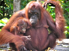 What's at Stake in Borneo (Rainforest Action Network) Tags: green indonesia rainforest wildlife orangutan environment activism humanrights eco directaction ran forests climatechange indigenous globalwarming rainforestactionnetwork deforestation endangeredspecies palmoil agribusiness campleakey peatland centralkalimantan kalimantantengah rspo tanjungputingnationalpark fnpf friendsofthenationalparksfoundation bwplantation ptbumilenggeng saveourborneo