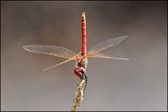 ...lightness... (zio paperino) Tags: nature insect nikon niceshot dragonfly natura libelula balance calabria libellule libellula 80200 equilibrio d90 ziopaperino mygearandme mygearandmepremium