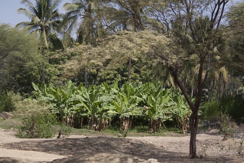 Plantation de bananes - Paysages environnants