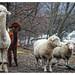 Alpacas and Sheep, 2011/12/15