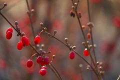 Fruits and buds (myu-myu) Tags: winter plant nature japan fruit ngc panasonic bud   cornusofficinalis  dmcg3