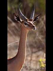 Daddy Long-Neck (AnyMotion) Tags: africa travel nature animal animals tiere reisen kenya wildlife ngc natur npc antelope afrika kenia antilope gerenuk 2011 anymotion samburunationalreserve portraitaufnahmen wallersgazelle giraffeneckedantelope canoneos5dmarkii 5d2 giraffengazelle