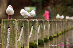 London - Seagulls Line up - Hyde Park (Beauty Eye) Tags: park city uk sea wild green london animal thames canon river chains europe day unitedkingdom britain seagull great sigma chain hyde gb hydepark 70300mm tamron westminister 600d    beautyeye