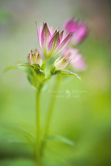 Little Openings (Jacky Parker Floral Art) Tags: uk pink flowers portrait plants nature vertical garden major flora open cottage opening buds blooms orientation perennials astrantia masterwort