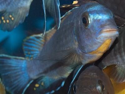 Tropheops sp. 'boadzulu' Boadzulu Island