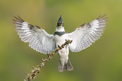Belted Kingfisher (Mike Lentz Photography) Tags: bird kingfisher beltedkingfisher fisheatingbird