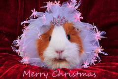 Miss Flame - Xmas Fairy (Mark Atwell) Tags: christmas xmas pink red tiara cute angel guinea pig seasons sweet fairy awww greeting dinky