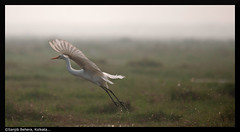 Time 2 move on!!! (Sanjib Behera) Tags: bird flying nikon egret orissa flyingbird flickraward flyingegret nikonflickraward sigma120400 mangalajodi