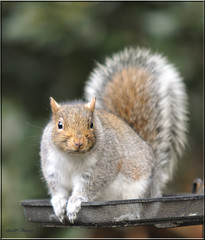 BIRD SEED THIEF (Shaun's Nature and Wildlife Images....) Tags: squirrels shaund