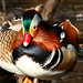 Mandarin Duck Couple