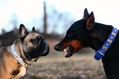 Listen boy... I am not avaliable! (Devilstar) Tags: playing dogs spring teeth frenchbulldog emotions showing dobermann