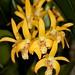 Dendrobium Gillieston Gold 'Natalie'