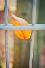 Fenced leaf (MoreThanOneView) Tags: plant leaves metal 35mm fence leaf pflanze material zaun blatt metall bltter