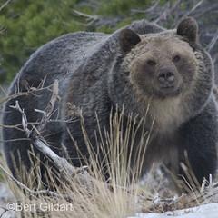 G-bear