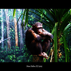Do I look macho? (nora2810) Tags: cute nature animal monkey comel monyet apekatt fujifilmfinepixs9500