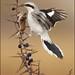 The Shrewd Shrike