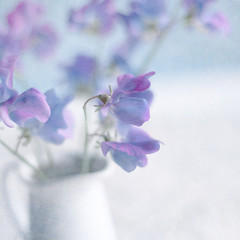 Sweet Pea (borealnz) Tags: pink flowers blue texture soft pretty purple sweetpea jug mauve gentle flypaper