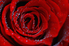 Rose (    , ) Tags: red rose canon ross drops drop qatar  t3i qtr   ameera      amoora          600