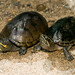 Mississippi Mud Turtle and Common Musk Turtle Comparison