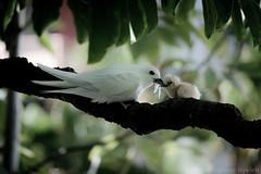 """""""Momma Bird feeding Young"""" (Tony Rowlett) Tags: birds hawaii waikiki wildlife tony honolulu rowlett nikond700 tonyrowlett"""