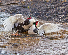 Muscovy Mania (augphoto) Tags: usa bird sc nature animal outdoors duck fight wildlife aggression fighting waterfowl muscovyduck cairinamoschata wareshoals