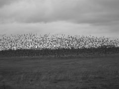 Grackles in flight (therealjoeo) Tags: sky bird clouds texas arm farm grackle taylor