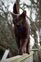 chat male couleur chocolat
